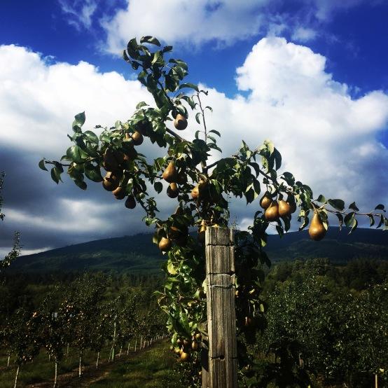 Skagit_Pears