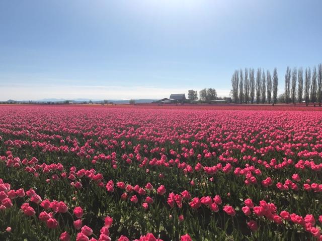 Skagit_Tulips
